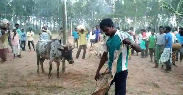 সোমবার শালবনীর ধানশোলা গ্রামে উদযাপন হল আদিবাসীদের 'গরু খুটান' উৎসব